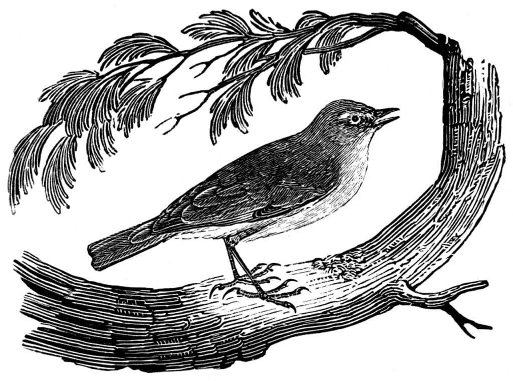 chiffchaff, bird, engraving