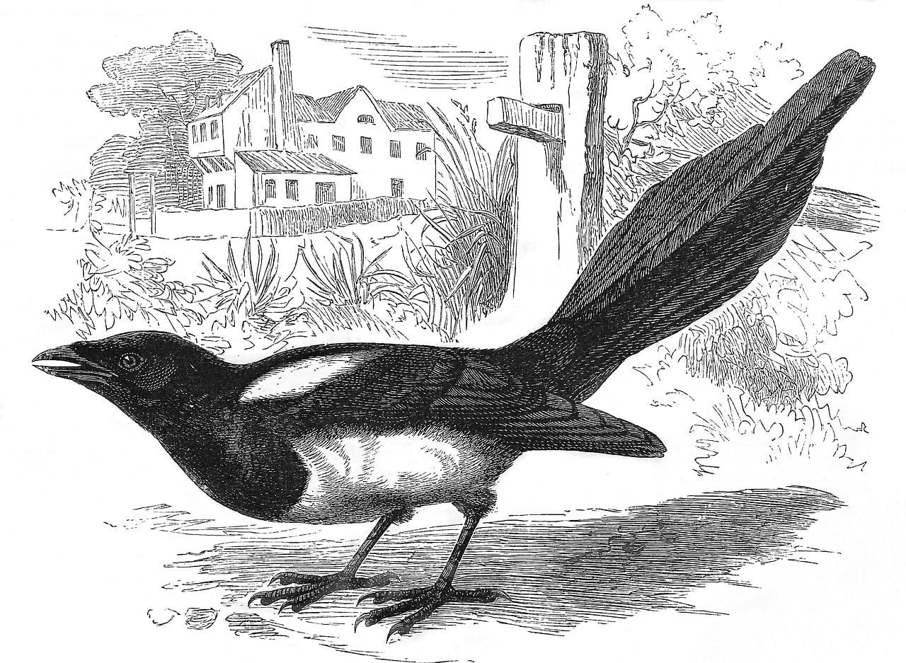 magpie, bird, engraving
