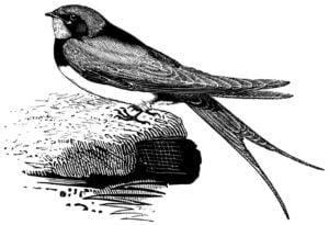 swallow, bird, songbird